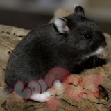 chuột-hamster-đen-2