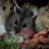 chuột-hamster-đen