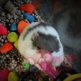 chuột-hamster-bò-sữa-tím