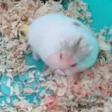 chuột-hamster-bò-sữa-vàng-21