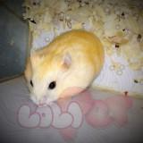 chuột hamster bông lan (2)