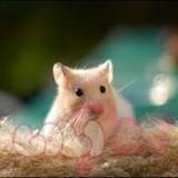 chuột hamster bear (3)1