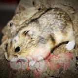 chuột hamster sóc campell (2)