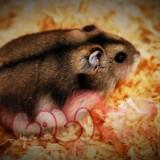 chuột hamster sóc ww (3)_webcamera360_20140702175042