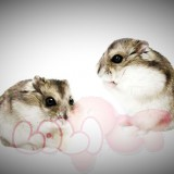 chuột hamster sóc ww (4)_webcamera360_20140702174950