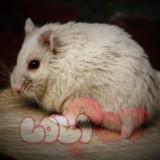 chuột-hamster-socola-2