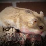 chuột-hamster-trà-sữa-campell-2