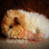 guinea-pig-texel_webcamera360_20140702173918