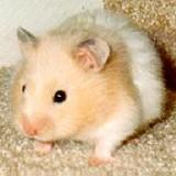 1 - Chuột Hamster xinh