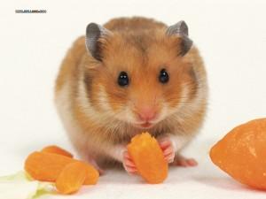 hamster bear giá rẻ , đẹp nhất hà nội tại lolipet