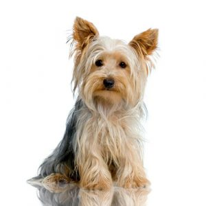 2-yorkshire-terrier-584357-1372598643_500x0
