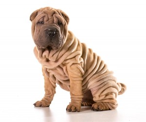 20160722-062803-dog-chinese_shar_pei-a_young_chinese_shar_pei_puppy_with_lots_of_deep_wrinkles_600x503