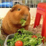 food for guinea pig