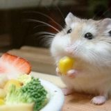 hamster-beo-nhanh-lolipet