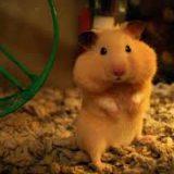 nên dùng loại lót chuồng nào cho Hamster