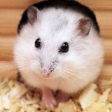hamster 666