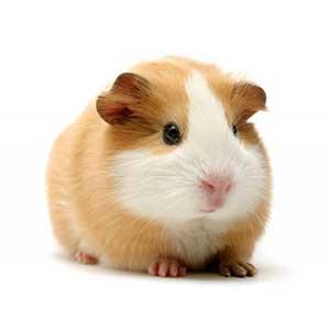 CHUỘT LANG _ GUINEA PIG
