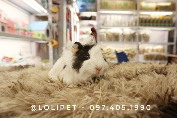 Chuột Lang ABY đen trắng - Guinea Pig ABY Black white 5