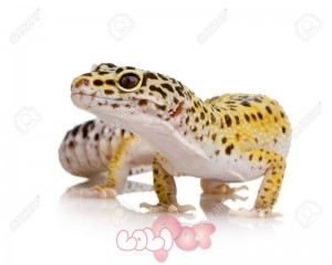 2113027-Young-Leopard-gecko-in-front-of-a-white-background-Stock-Photo
