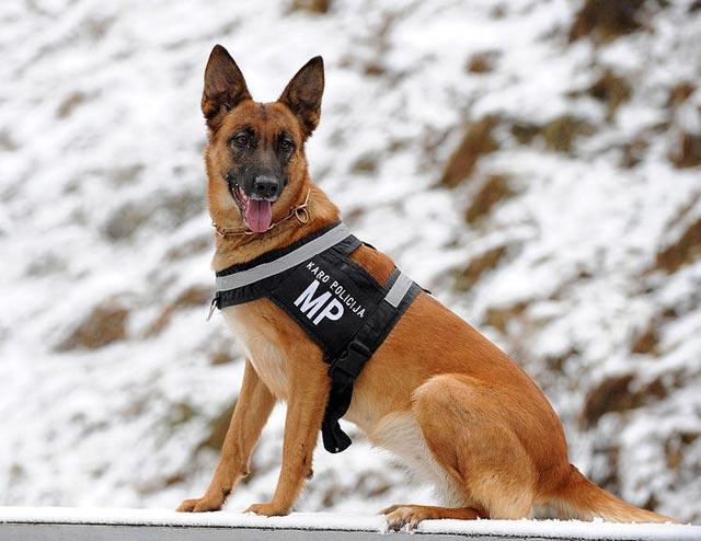 22-german-shepherd-dog-in-lithuanian-army