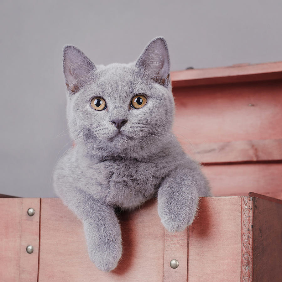 3-british-shorthair-kitten-waldek-dabrowski