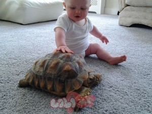 3-year-old-female-sulcata-tortoise-51d18fe0f1def