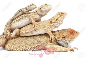 325868-Bearded-Dragon-Family-in-a-pile-Stock-Photo