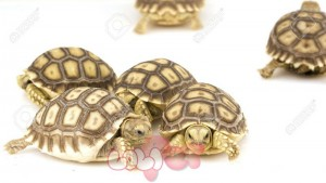 3415029-Group-of-African-Spurred-Tortoises-Geochelone-sulcata--Stock-Photo