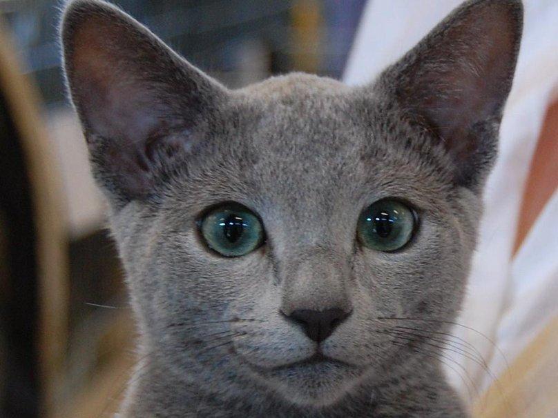 533086__russian-blue-kitten_p