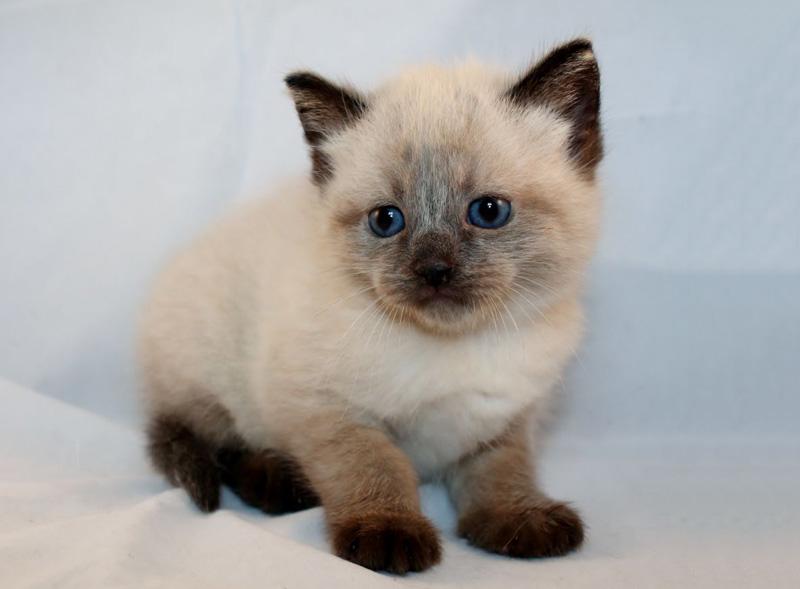 mèo Xiêm bé