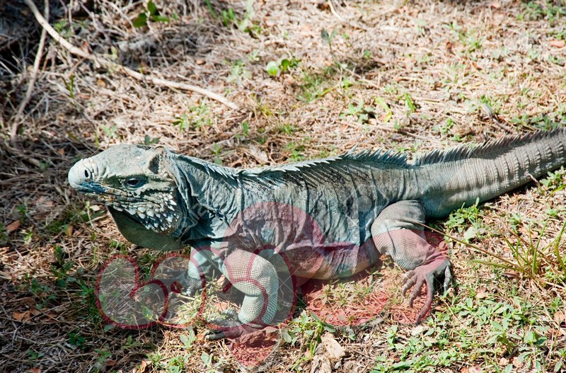 9171730-Blue-iguana-on-Grand-Cayman-island-Stock-Photo