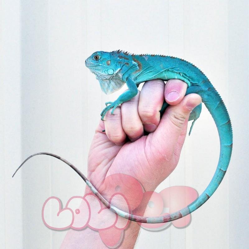 Aqua Blue Iguana