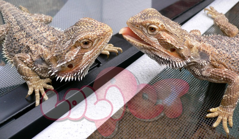 Australian_bearded_dragon