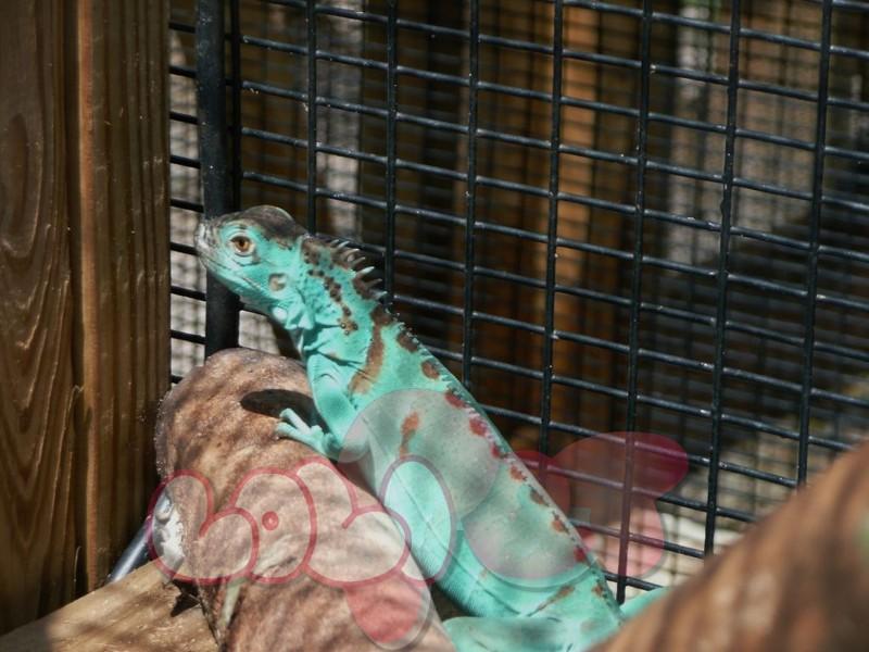 Axanthic-or-Blue-Iguana-2