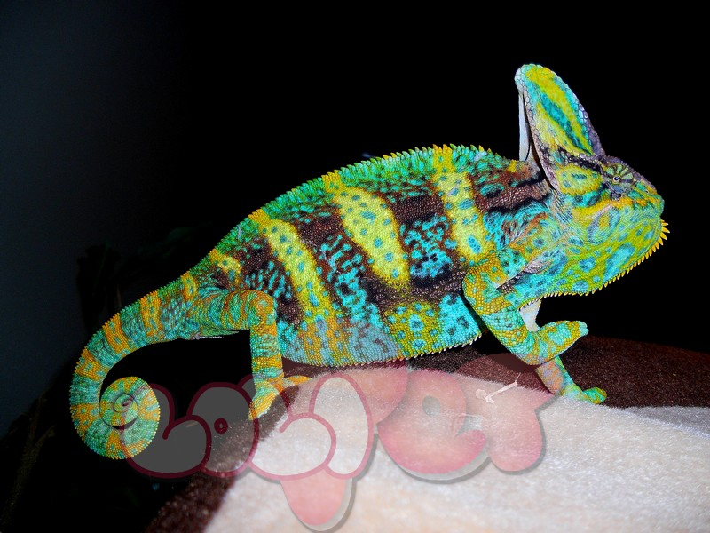 BLUE-MALE-VEILED-CHAMELEON-reptiles-33203263-4000-3000