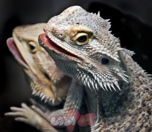 Bearded_dragons_(7762277788)