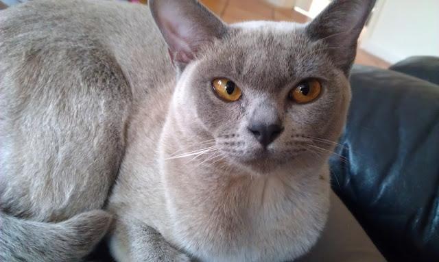Best-Burmese-Cat-Images