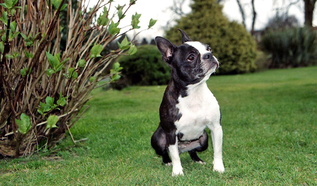 Boston-Terrier-2-645mk062111