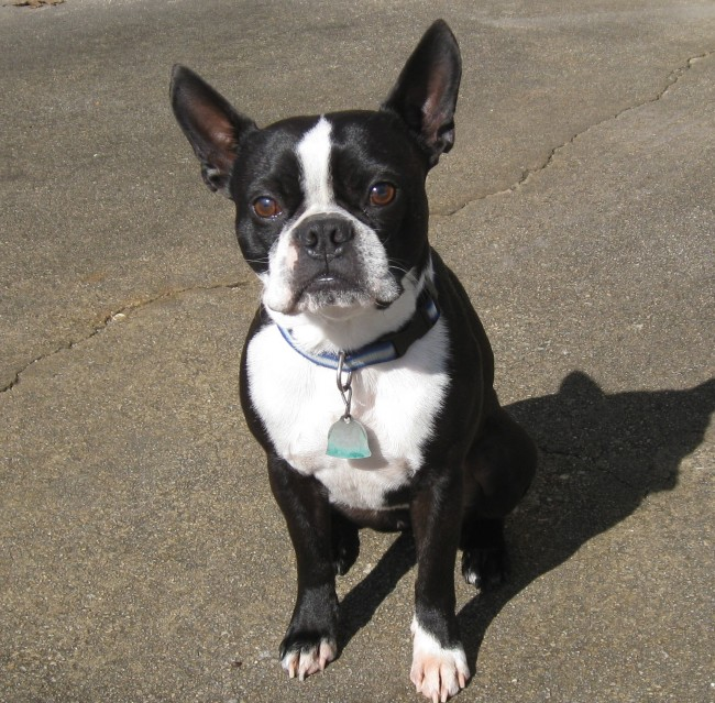 BostonTerrier001
