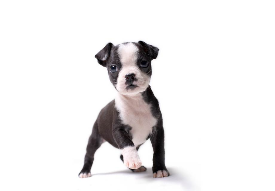 Boston_Terrier_SERP