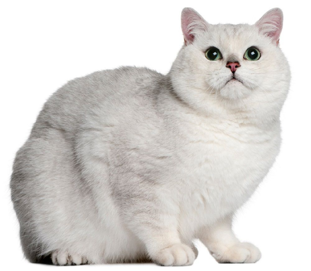 British-shorthair-white