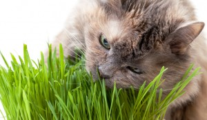 Cat-Eating-Grass2
