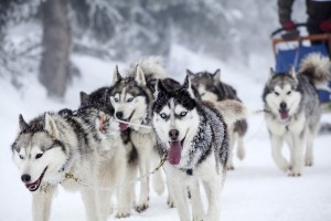 Dog-Dog_Guide-A_pack_of_Siberian_Huskies_pulling_a_sled