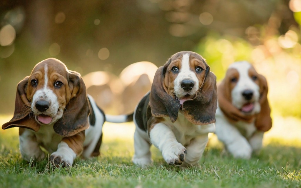 France-Basset-Hound-Dog-Wallpaper