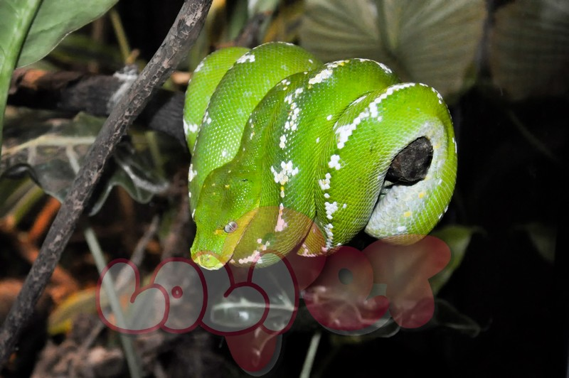 Green_Tree_Python_Coiled_Around_a_Branch