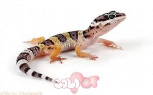 Leopard Gecko (Eublepharis macularius) juvenile