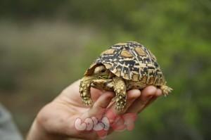 Leopard Tortoise 1