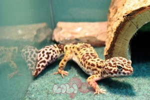 Leopard_Gecko(44.99_-89.99)__54640_zoom