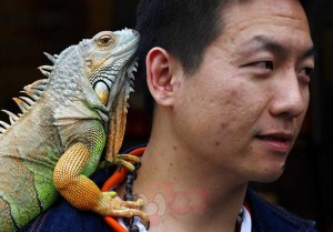 "A man carries his pet iguana on his shoulder during the 2010 ""Love Animal Day"" pet carnival in Taipei"