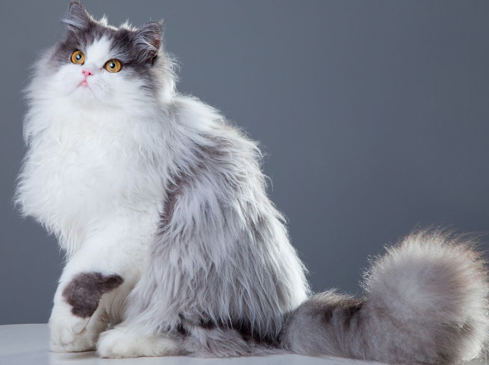 Persian-cat-blue-and-white